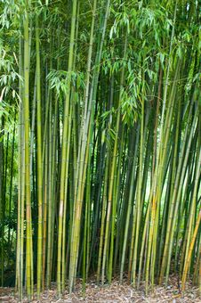 Free Bamboo Thickets. Royalty Free Stock Images - 7779929
