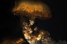 Free Jellyfish - Sea Nettle Royalty Free Stock Photos - 7780478