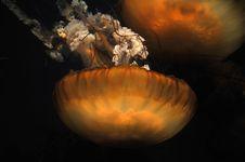 Free Jellyfish - Sea Nettle Royalty Free Stock Photo - 7780975