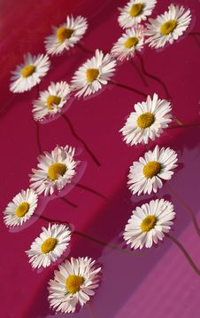 Free Many Daisies In Pink Stock Photo - 7781100