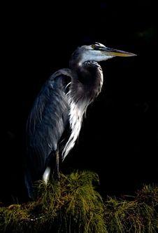 Free Great Blue Heron Royalty Free Stock Photo - 7781385