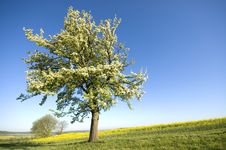 Free Tree In Blossom Stock Photo - 7781670