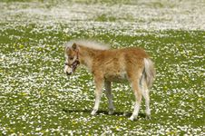 Horse Foal On Flower Field Royalty Free Stock Images