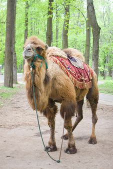 Free Camel Stock Images - 7782034