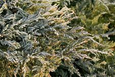 Free Thuja Branches In Hoar Frost Royalty Free Stock Images - 7782269