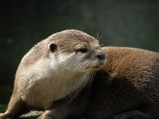 Asian Short Clawed Otter Royalty Free Stock Images
