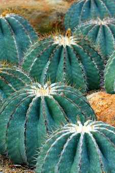 Free Cactus Royalty Free Stock Photo - 7782485
