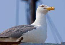 Free Sea Gull Royalty Free Stock Photos - 7782648