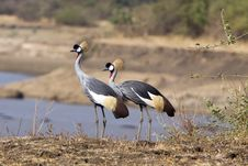 Free African Cranes Stock Image - 7785251