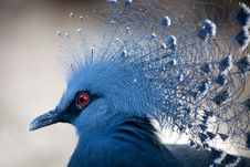 Blue-crowned Pigeon Royalty Free Stock Photo