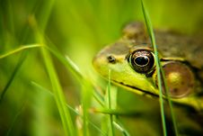 Free Green Frog Stock Images - 7787044