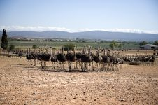 Ostrich Of South Africa Stock Photography
