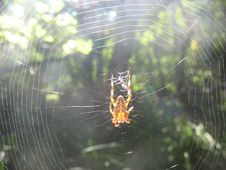 Free Spider In A Cobweb Royalty Free Stock Photos - 77801978
