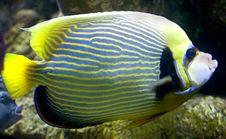 Emperor Angelfish 4 Stock Photos