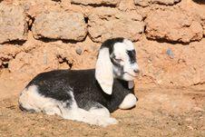 Newborn Goatling Stock Photos