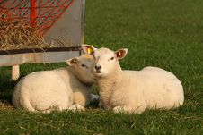 Free Two Little Lambs Stock Photos - 7791653