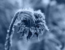 Frozen Sunflower Stock Image