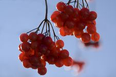 Free Red Berries Royalty Free Stock Image - 7792346