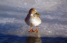 Free Duck On Ice Stock Photo - 7792390