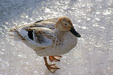 Free Duck On Shimmring Ice Stock Photo - 7792470