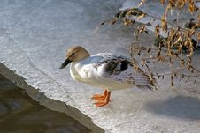 Free Duck On Ice 2 Stock Images - 7792474