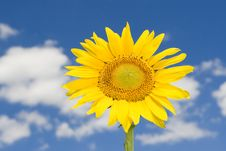 Free Amazing Sunflower Royalty Free Stock Image - 7792516