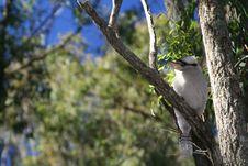 Free Australian Bush Kookaburra In Tree Stock Images - 7792694