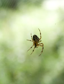Free Hunting Garden-spider Stock Images - 7792844