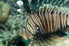 Free Lionfish Royalty Free Stock Image - 7793026