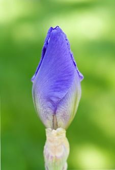Purple Iris Bud Royalty Free Stock Images