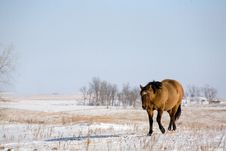Free Quarter Horse In Winter Royalty Free Stock Photography - 7793697