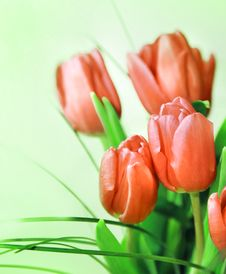 Free Pink Tulips Stock Images - 7794374