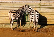 Free Zebras Eating Royalty Free Stock Image - 7794856