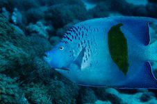 Free Yellowbar Angelfish Royalty Free Stock Image - 7794966