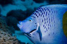 Free Yellowbar Angelfish Stock Photos - 7794983