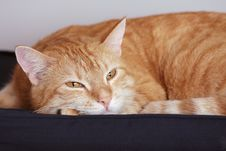 Free Ginger Cat Royalty Free Stock Images - 7796309