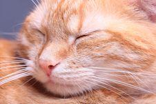 Free Ginger Cat Stock Image - 7796321