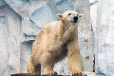 Free Polar Bear At The Zoo Stock Images - 7797144