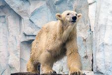 Free Polar Bear At The Zoo Stock Images - 7797144