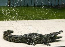 Free Crocodile In Fury Royalty Free Stock Photography - 7797157