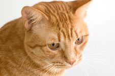 Free Orange Tabby Cat Stock Image - 7797661