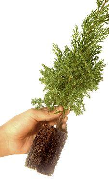 Free Plant On Casuarina Tree Royalty Free Stock Photos - 7798548