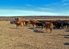 Free Feeding Cattle Royalty Free Stock Images - 7798749