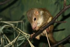 Free Rodent In The Tree Royalty Free Stock Image - 7799116