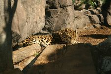 Free Sleepy Jaguar Royalty Free Stock Photo - 7799325
