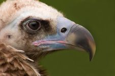 Free Monk Vulture In Captivity Royalty Free Stock Image - 7799426