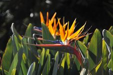 Free Bird Of Paradise Royalty Free Stock Images - 7799789