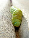 Free Green Leaf Cutter Caterpillar Royalty Free Stock Photo - 786985