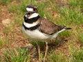 Free Mad Bird Stock Photography - 787162