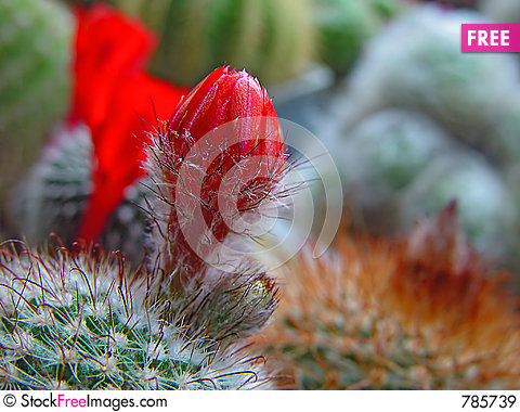 Free Blossoming Cactus Parodia Sanguiniflora. Royalty Free Stock Images - 785739